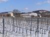 Mádi pincék – szőlők télen