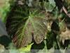 Eleki ritka szőlőfajták / Szőlő - génbank, több mint 100 fajta tőkével az eleki szőlőskertben.